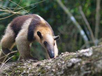 collared anteater in South American Rainforest
