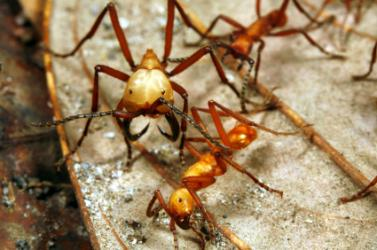 close up of mandibles of army ant in rainforest