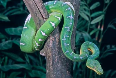 emerald tree boa in rainforest tree