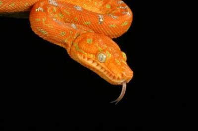 juvenile emerald tree boa showing orange coloration