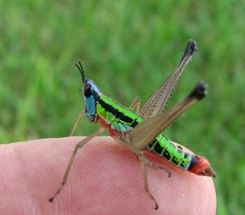 colorful grasshopper (Eumastax) from El Salvadore