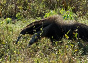 giant anteater (Myrmecophaga tridactyla) in South American Rainforest