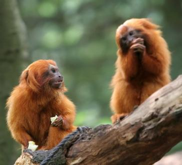 two golden lion tamarins sitting on a log and eating