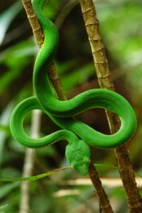 Green Viper (snake) in rainforest