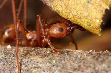 close up of leafcutter ant carrying leaf