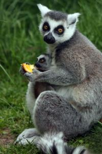 ringtailed lemur mom holding baby lemur and eating an orange