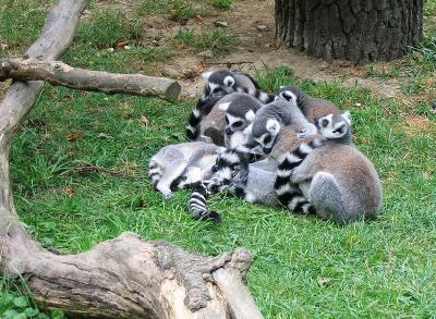 a group of lemurs in a zoo huddling close together for warmth