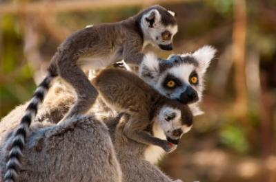 ringtailed lemur mother and two lemur babies