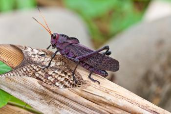 purple grasshopper on a banana leaf