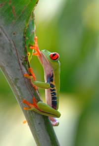 Red eyed tree frog on leaf in Costa Rica