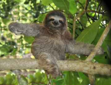 juvenile three toed sloth in tree