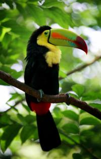 Keel-billed Toucan, Rainbow-billed Toucan (Ramphastos sulfuratus)